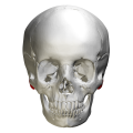 Mastoid process - anterior view.png