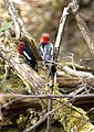 Mating game in the forest (5594003808).jpg