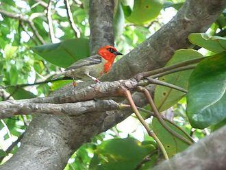 Wildlife of Mauritius - Mauritius fody (Foudia rubra)