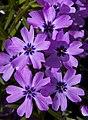 Mauve Flowers 2 (4540691499).jpg