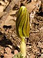 Mayapple (Podophyllum peltatum) (22019558816).jpg