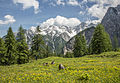 Meadows blooming under snowy mountains 2013.jpg