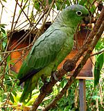 A green parrot with black-tipped wings and white eye-spots