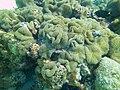 Meandrina meandrites - maze coral - Bay of Pigs - Cuba.jpg