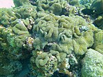 Meandrina meandrites - maze coral - Bay of Pigs - Cuba.jpg