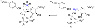 Amidophosphoribosyltransferase - Second half of the catalytic mechanism of ATase occurring in the phosphoribosyltransferase domain active site. The ammonia liberated in the first half of the reaction replaces pyrophosphate in PRPP, yielding phosphoribosylamine. A tyrosine residue stabilizes the transition state and allows the reaction to occur.