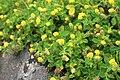 Medicago-lupulina-flowering.jpg