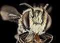 Megachile concinna, M, Face, Puerto Rico, Boqueron 2014-09-18-16.17.22 ZS PMax (39203090505).jpg