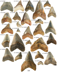 Several triangular fossil shark teeth on a white background.