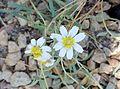Melampodium leucanthum kz7.jpg