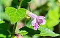 Melittis melissophyllum in Aveyron (2).jpg