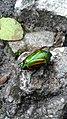 Melolonthidae2.jpg