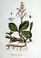 Menyanthes trifoliata — Flora Batava — Volume v1.jpg