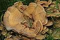 Meripilus giganteus 85696611.jpg