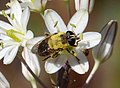 Merodon species, hoverfly (32241097534).jpg