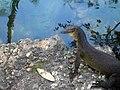 Mertens Water Monitor (Varanus mertensi) (8240251546).jpg
