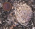 Messinian rhodolith top.JPG