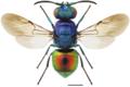 Metallkulegullkvefs (Pseudomalus auratus).png