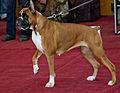 Miezynarodowa wystawa psow rasowych katowice 2012 1.jpg