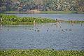 Migratory Birds - Santragachi Lake - Howrah 2013-01-25 3570.JPG