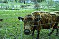 Milton Ontario - Friendly Cow (13946957420).jpg