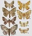 Mimalloninae (10.3897-zookeys.815.27335) Figures 85–92.jpg
