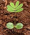 Mimosa pudica - cotyledon.jpg