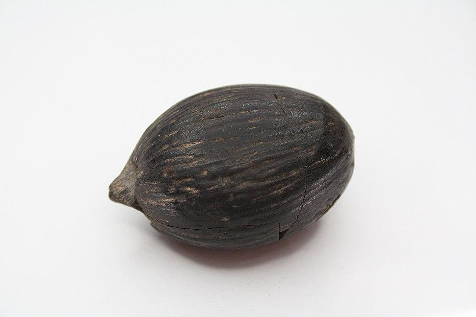 Miocene coconut