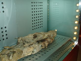 Canary Islands in pre-colonial times - Mummy of San Andrés, in the Museo de la Naturaleza y el Hombre (Tenerife).