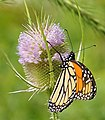 Monarch Butterfly Red Hill Valley.JPG