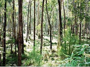 Monga National Park - Eucalyptus forest at Monga National Park