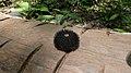 Monkey's comb (33153982000).jpg