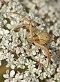 Monstres 100 - monstruos - monsters (araña cangrejo - spider crab) (780050318).jpg