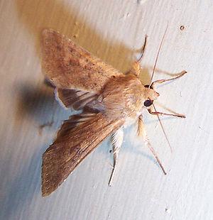 A moth