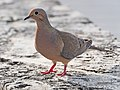 Mourning Dove - Zenaida macroura, Biscayne National Park, Homestead, Florida (39651399705).jpg