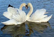 LoveSwans Focus