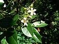 Murraya paniculata closeup.jpg
