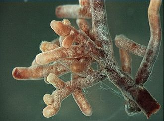 Host (biology) - Mycorrhiza, a mutualistic interaction between a plant's roots and a fungus