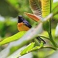 Myioborus miniatus -Costa Rica-8b.jpg