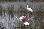 NASA Kennedy Wildlife - Roseate Spoonbills and a White Ibis.jpg