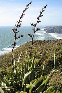 <i>Phormium</i> genus of plants