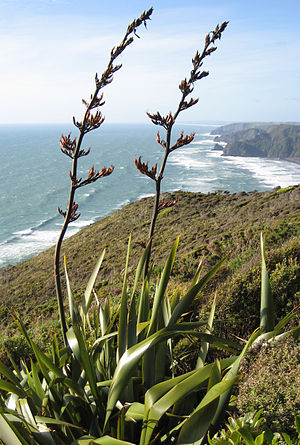 Phormium - Phormium tenax in bloom in Piha, west Auckland, New Zealand