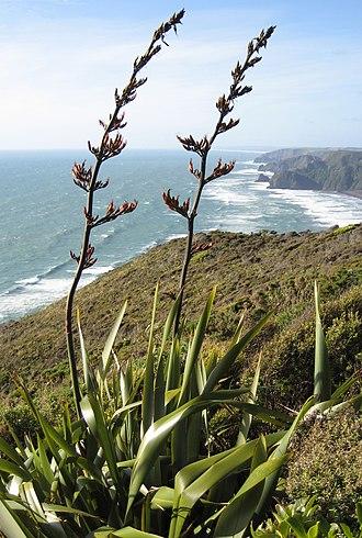 Antarctic Floristic Kingdom - Phormium tenax, Piha, New Zealand
