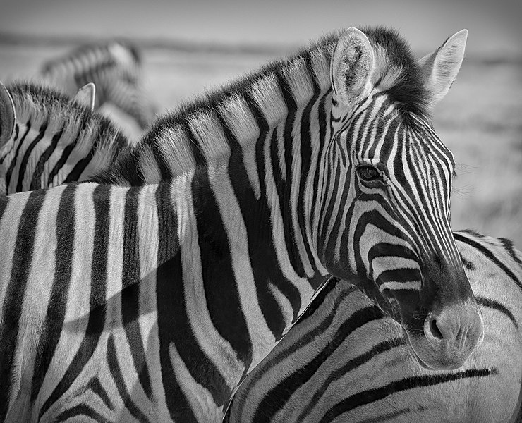 File:Namibian Zebra (39357420).jpeg