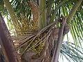 Nari-kelamu (Telugu- నారికేడము) (4663299225).jpg