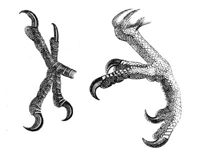 Indian Ring Neck Leg Ring