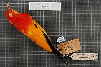 Hendrikus Albertus Lorentz - Image: Naturalis Biodiversity Center RMNH.AVES.143263 1 Sericulus aureus ardens (D'Albertis & Salvadori, 1879) Ptilonorhynchidae bird skin specimen