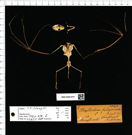 Naturalis Biodiversity Center - RMNH.MAM.35975 pal - Hipposideros fuliginosus - skeleton (whole).jpeg