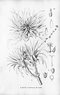 N. caulescens