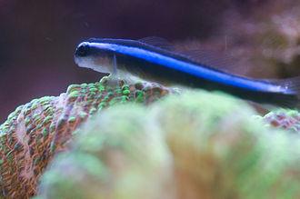 Elacatinus - Neon goby (E. oceanops)